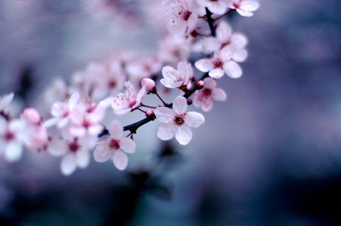 Cherry Blossum in Japan